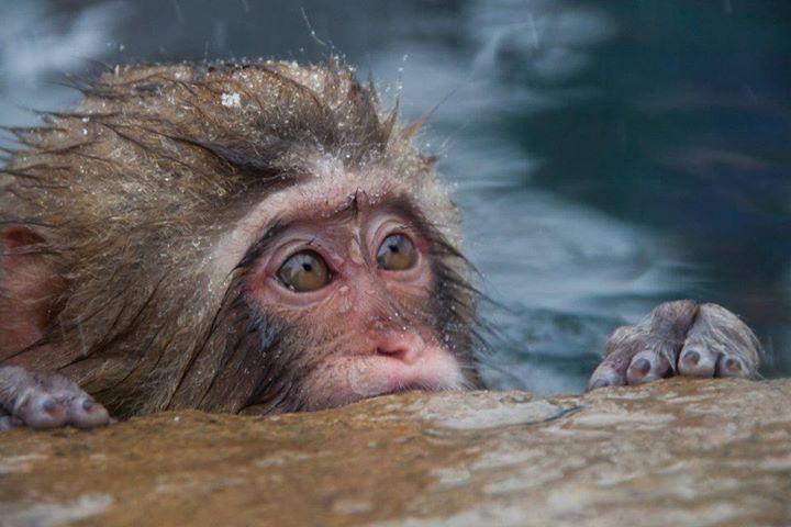 snow-monkey-baby