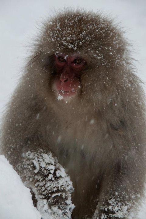 snow-monkey-park-japan