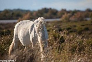 Cavallo-bianco-Camargue