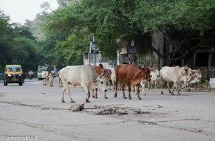 Mucche-strada-India