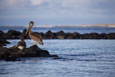 Brown-pelican-los-lobos-island