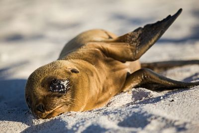 Sea-lion-Mosquera-Island