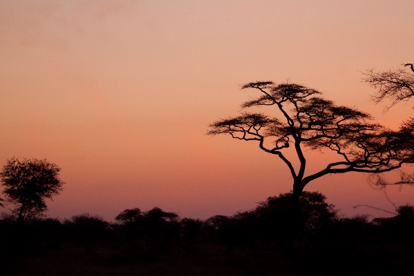 Serengeti alba