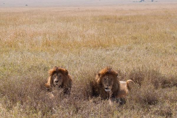 Serengeti coppia leoni