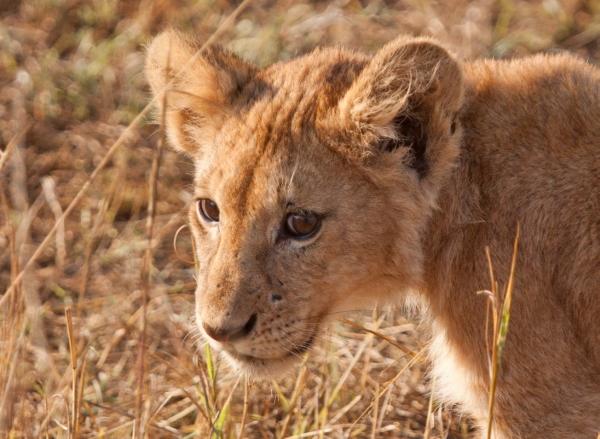 serengeti cucciolo leone