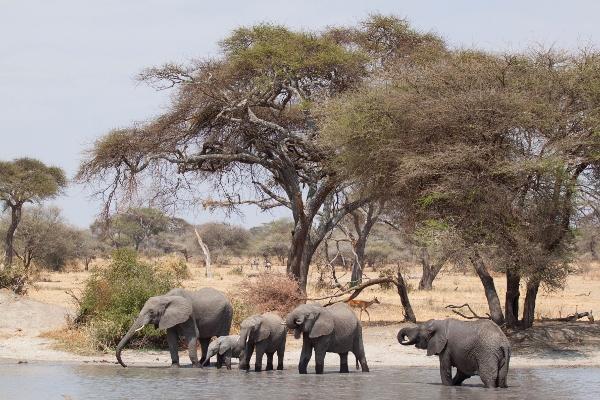 elefanti tarangire national park