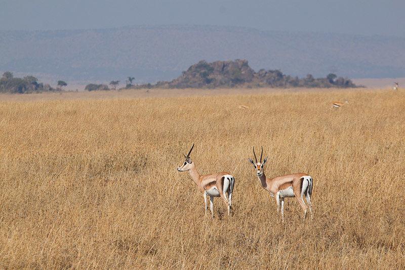 gazzelle-serengeti