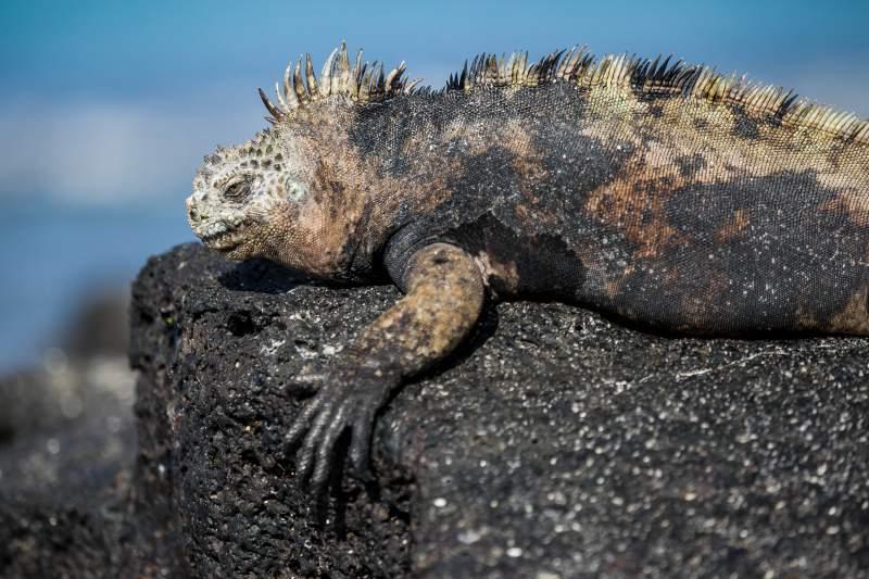 iguana marina galapagos