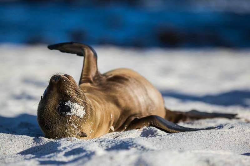 isole-galapagos-leone-marino