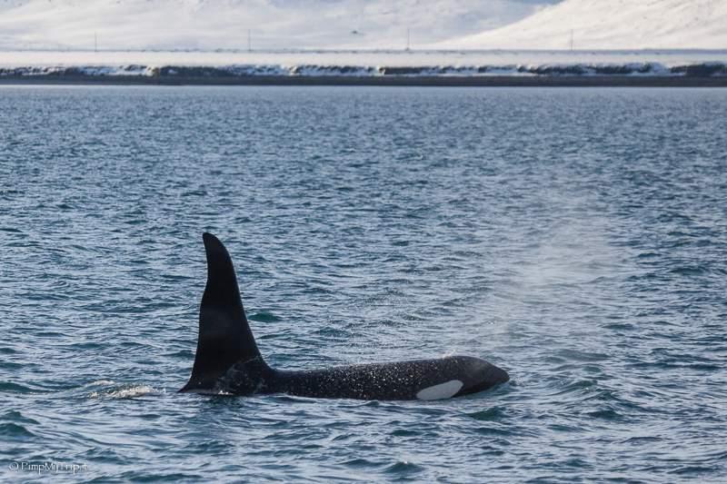 orca-marina-islanda