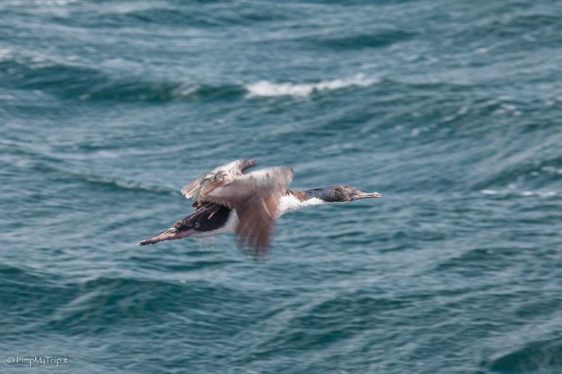 cormorano canale beagle