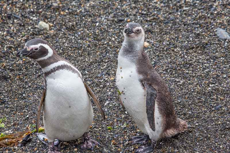 pinguino magellano cucciolo