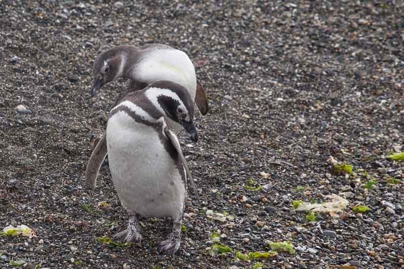 pinguini canale di beagle