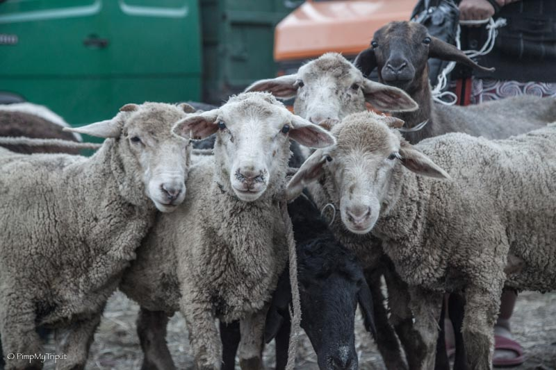 mercato animali karakol