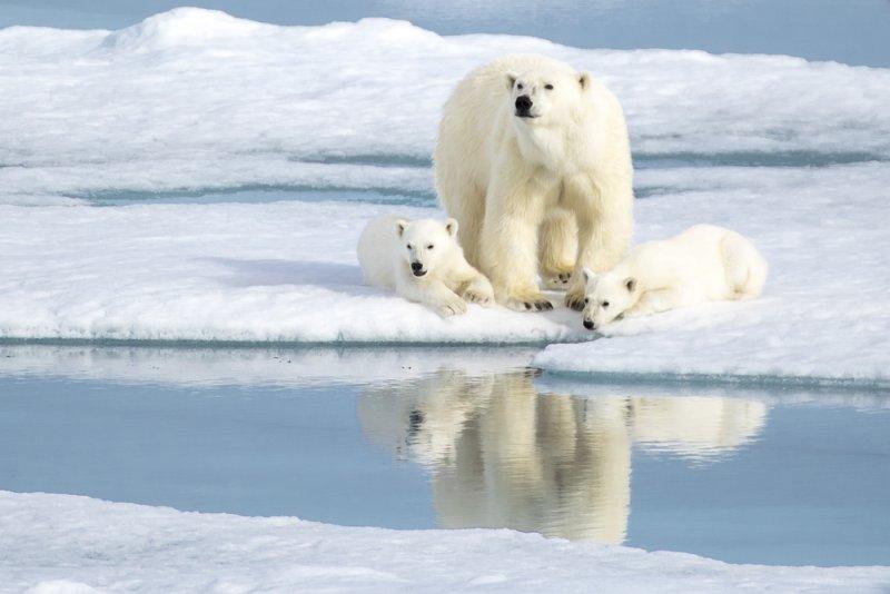 orsi-polari-svalbard