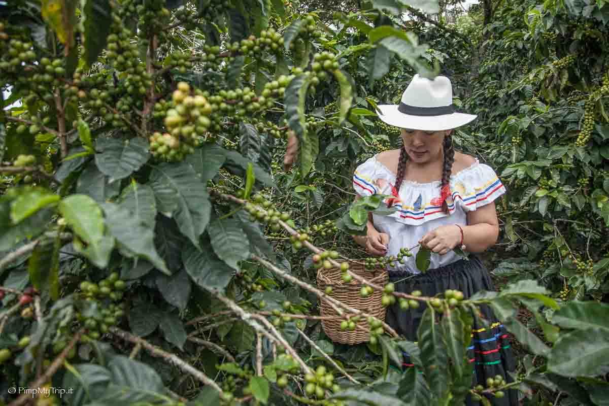 raccolta-caffe-colombia
