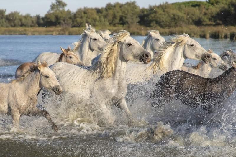 camargue-cavalli